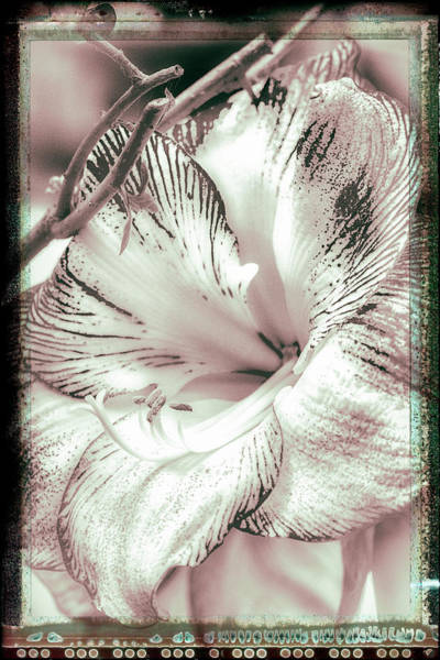 Photograph - Amaryllis Vintage Enhancements by Mother Nature