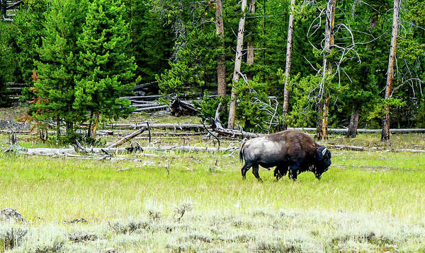 Wildlife Wall Art - Photograph - Amazing Buffalo by Ric Schafer