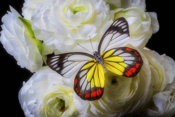 Photograph - Amazing Butterfly On Ranunculus by Garry Gay