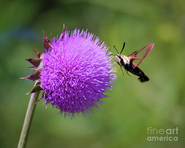 Hemaris Photograph - Amazing Insects - Hummingbird Moth by Kerri Farley