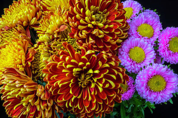 Wall Art - Photograph - Amazing Mums And Matsumoto Flowers by Garry Gay