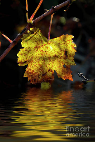 Photograph - Amber Leaf Reflections by Elaine Teague