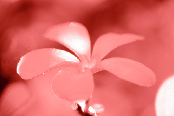 Plumeria Photograph - Amber Petals by Sean Davey