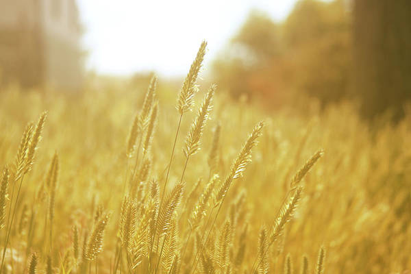 Photograph - Amber Waves Of Grain by Marie Leslie