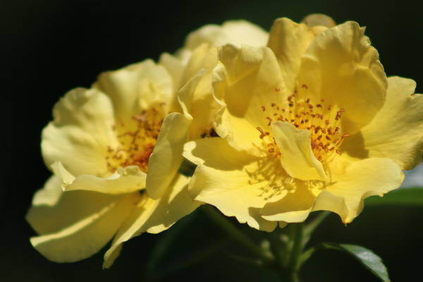 Photograph - Amber Yellow Country Rose by Colleen Cornelius
