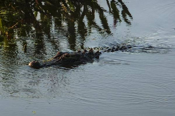 Photograph - American Alligator by NaturesPix