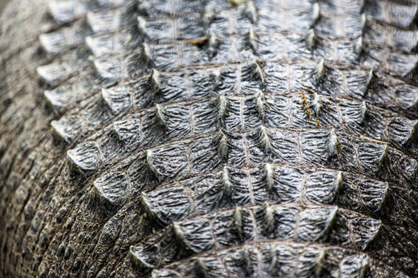 Photograph - American Alligator Back Scales by SR Green