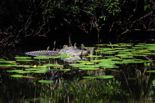 American Alligator In South Walton Florida Art Print
