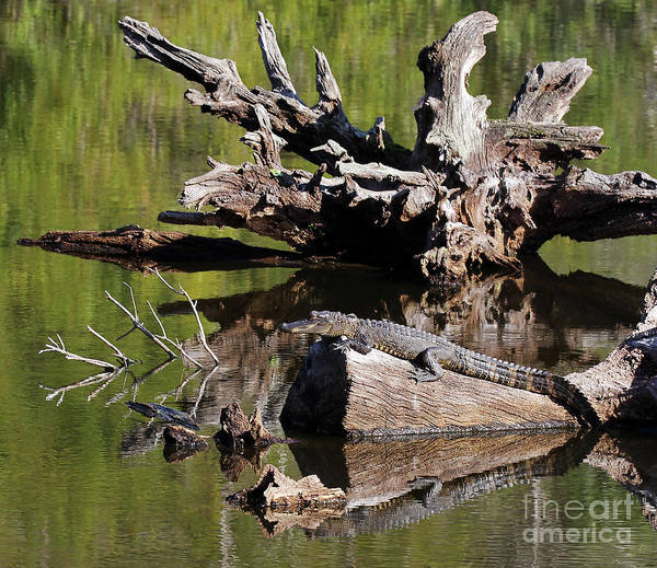Photograph - American Alligator by Jennifer Robin