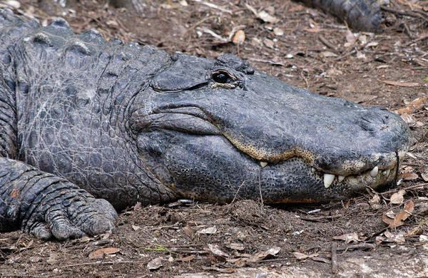 Photograph - American Alligator by Larah McElroy