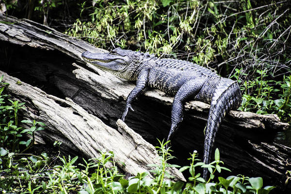Photograph - American Alligator Resting On A Log by Chris Coffee