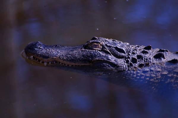 Digital Art - American Alligator Sleeping by Chris Flees