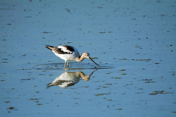 Photograph - American Avocet 4270-080917-1 by Tam Ryan