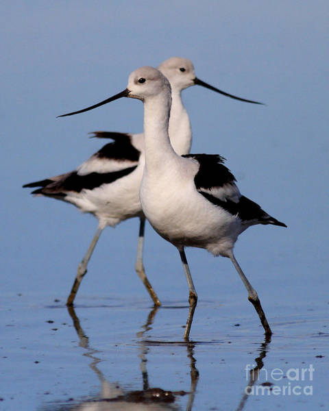Photograph - American Avocet Ballet . 7d4855 by Wingsdomain Art and Photography