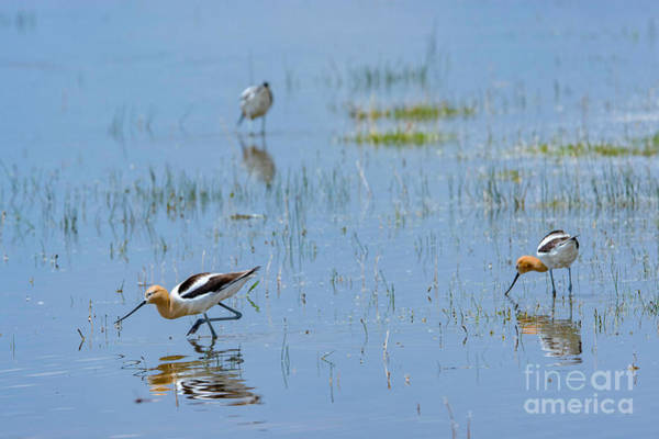 Photograph - American Avocet by Bitter Buffalo Photography