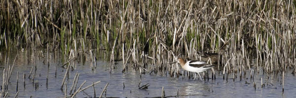 Photograph - American Avocet by David Waldrop