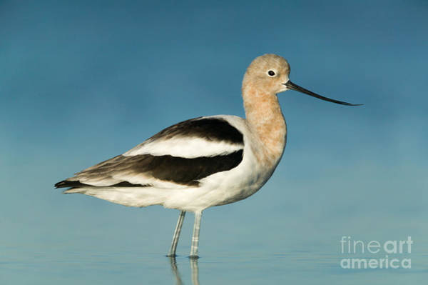 Photograph - American Avocet I by Clarence Holmes