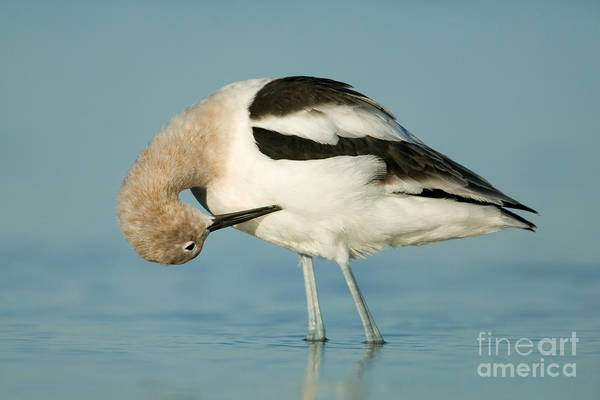 Photograph - American Avocet II by Clarence Holmes