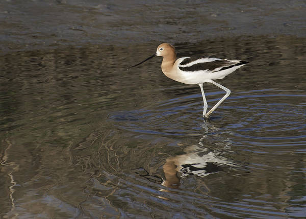 Photograph - American Avocet II by David Waldrop