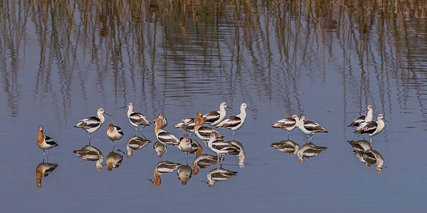 San Elijo Wall Art - Photograph - American Avocet Reflections by Morris Finkelstein
