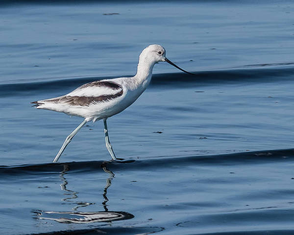 Sonny Bono Wall Art - Photograph - American Avocet Standing In Water by Morris Finkelstein