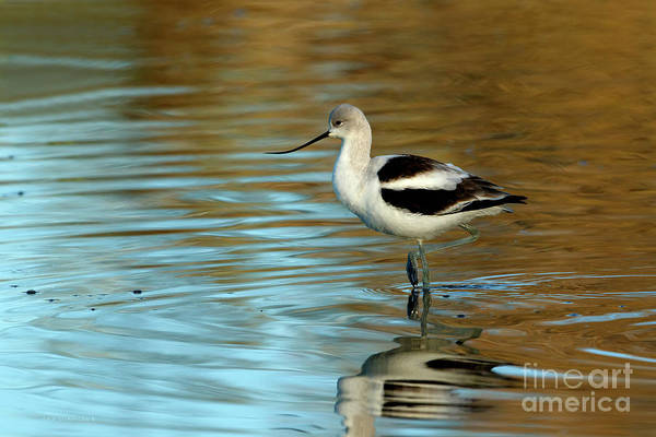Photograph - American Avocet - Winter Plumage by Beve Brown-Clark Photography