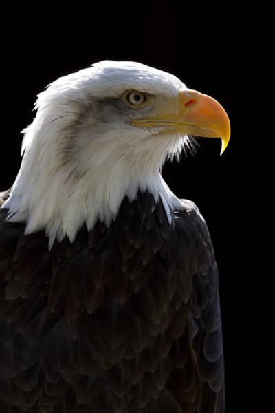 Photograph - American Bald Eagle by Andy Myatt