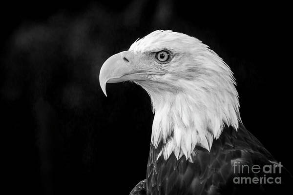 Photograph - American Bald Eagle by Sal Ahmed