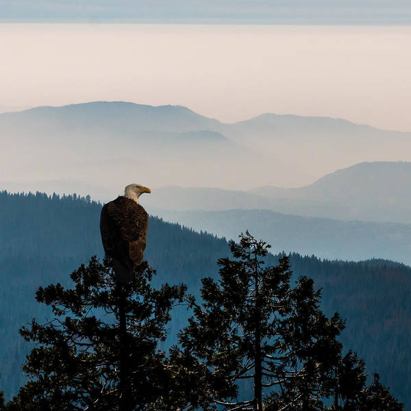 Photograph - American Bald Eagle Sentinel by Patti Deters