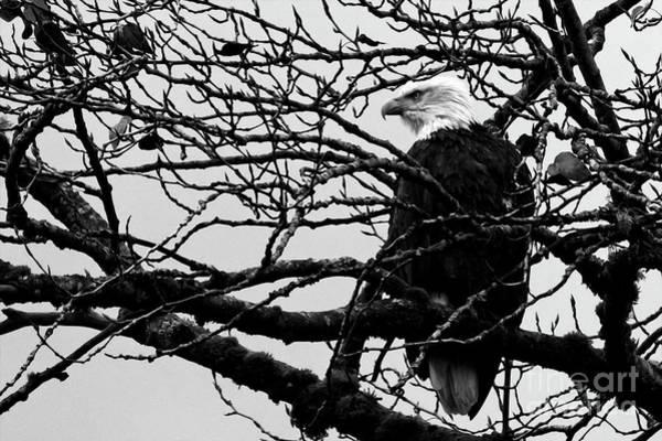 Photograph - American Bald Eagle by Sue Harper