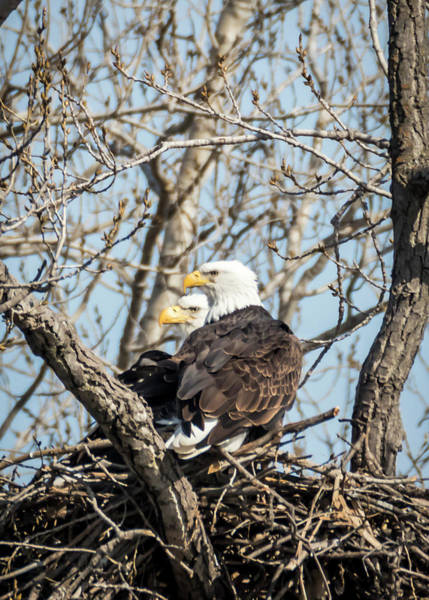 Photograph - American Bald Eagles Nesting by Patti Deters