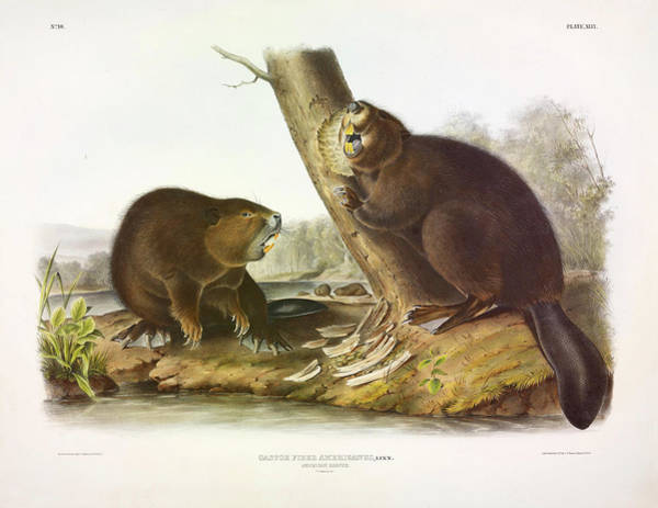 Wall Art - Painting - American Beaver by John James Audubon