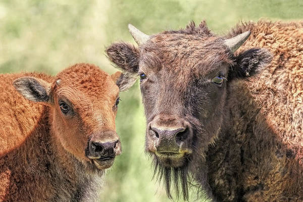 Wall Art - Photograph - American Bison Calves by Jennie Marie Schell