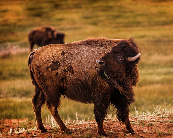 Photograph - American Bison by Chris Bordeleau