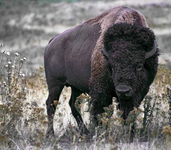 Wall Art - Photograph - American Bison by Daniel Hagerman