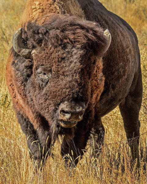 Wall Art - Photograph - American Bison by Dawn Key