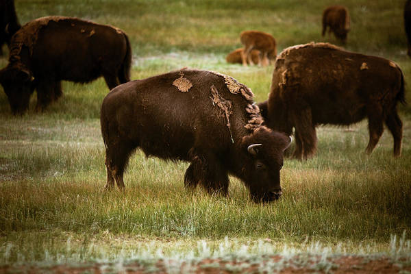 Photograph - American Bison Grazing by Chris Bordeleau