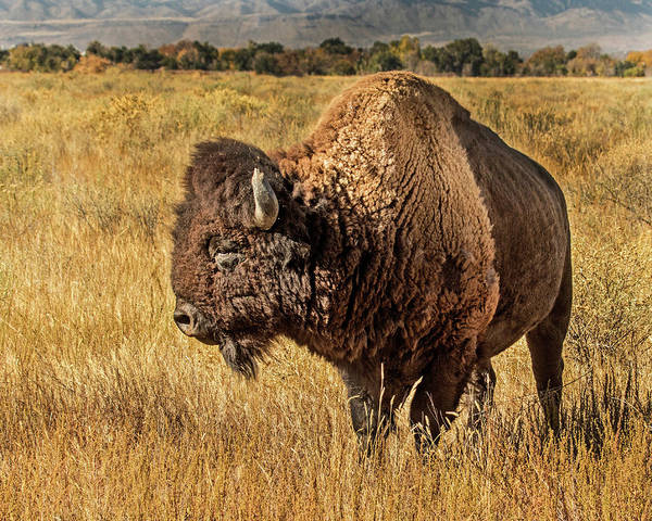 Wall Art - Photograph - American Bison In Fall Grass by Dawn Key