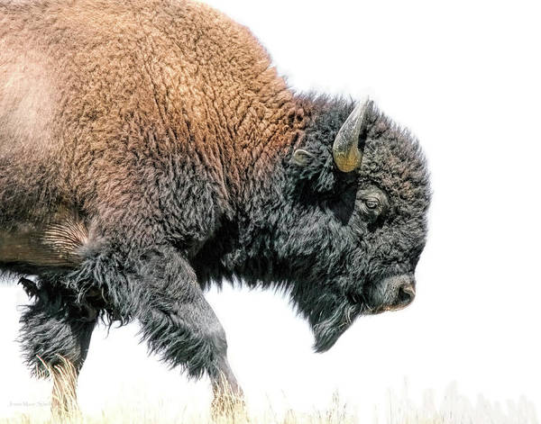 Wall Art - Photograph - American Bison by Jennie Marie Schell