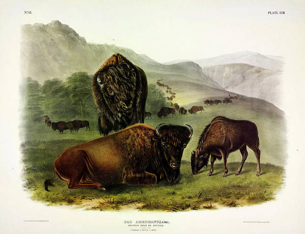 North American Birds Painting - American Bison by John James Audubon