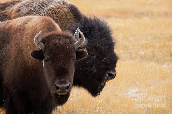 Beast Photograph - American Bison by Juli Scalzi