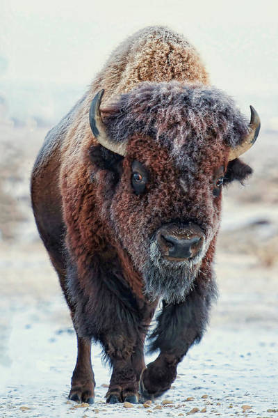 Digital Art - American Bison by OLena Art - Lena Owens