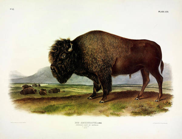 Wall Art - Painting - American Bison, Or Buffalo, Male by John James Audubon