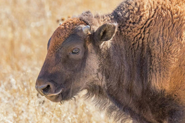 Wall Art - Photograph - American Bison Profile by Tony Hake