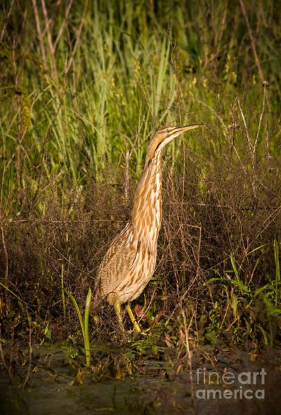 Bird Watcher Photograph - American Bittern by Robert Frederick
