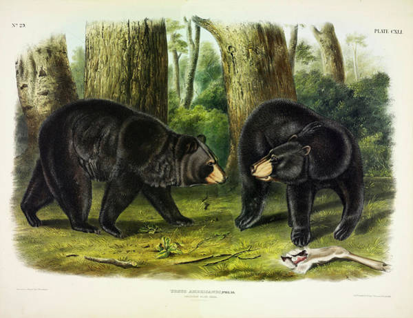Wall Art - Painting - American Black Bear by John James Audubon