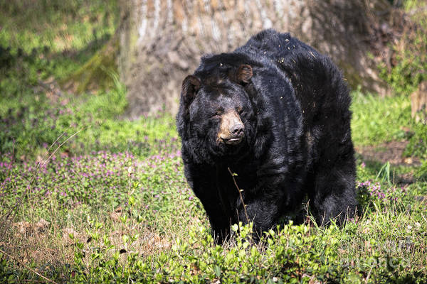 Photograph - American Black Bear - Maymont by Jemmy Archer