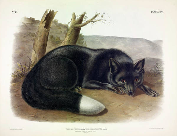 Wall Art - Painting - American Black Or Silver Fox by John James Audubon