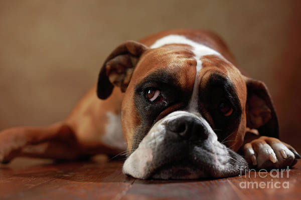 Wall Art - Photograph - American Boxer Dog by Jana Behr