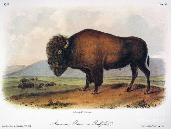 Photograph - American Buffalo, 1846 by John James Audubon